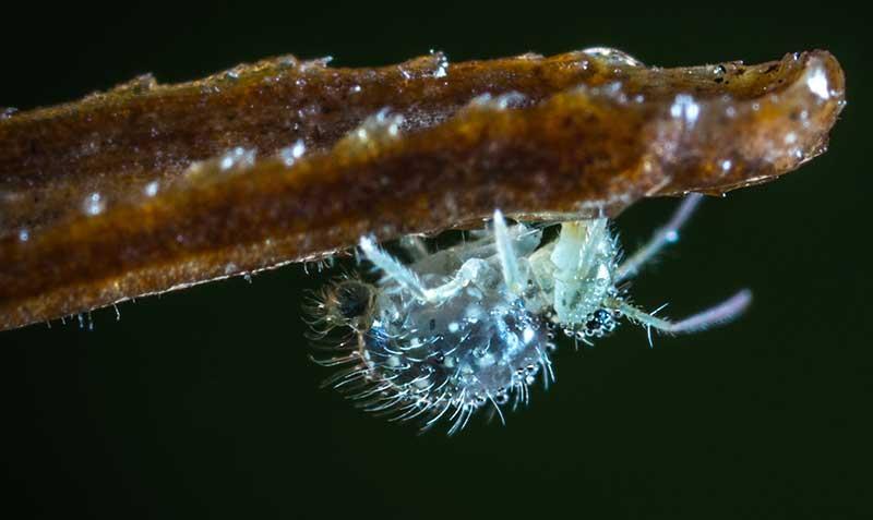 Blattläuse im Gewächshaus